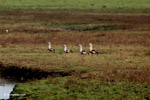 Orinoco geese [colombia_5873]