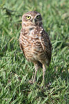 Burrowing Owl (Athene cunicularia) [colombia_5899]