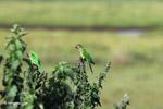 Brown-throated Parakeets (Aratinga pertinax) [colombia_5902]