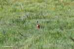 Scarlet Ibis (Eudocimus ruber) [colombia_5921]