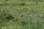 Scarlet Ibis (Eudocimus ruber) [colombia_5930]