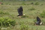 Buff-necked Ibis (Theristicus caudatus) [colombia_5932]