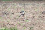 Buff-necked Ibis (Theristicus caudatus) [colombia_5985]