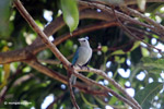 Blue-gray tanager [colombia_6000]