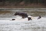 Fleeing capybara