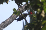 Lineated Woodpecker (Dryocopus lineatus) [colombia_6030]