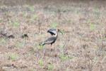 Buff-necked Ibis (Theristicus caudatus) [colombia_6044]