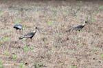 Buff-necked Ibis (Theristicus caudatus) [colombia_6101]