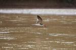 Black skimmer (Rynchops niger) in flight [colombia_6106]