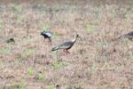 Buff-necked Ibis (Theristicus caudatus) [colombia_6113]