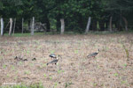 Buff-necked Ibis (Theristicus caudatus) [colombia_6114]