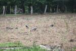 Buff-necked Ibis (Theristicus caudatus) [colombia_6121]