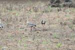 Buff-necked Ibis (Theristicus caudatus) [colombia_6132]