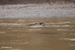 Black skimmer (Rynchops niger) in flight [colombia_6135]