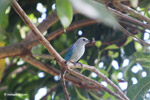 Blue-gray tanager [colombia_6151]
