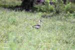 Buff-necked Ibis (Theristicus caudatus) [colombia_6152]