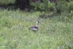 Buff-necked Ibis (Theristicus caudatus) [colombia_6159]
