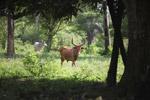 Bull with giant horns