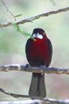 Crimson-backed Tanager (Ramphocelus dimidiatus) [colombia_6168]