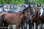 Wild horses in Colombia