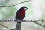 Crimson-backed Tanager (Ramphocelus dimidiatus) [colombia_6188]