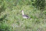 Buff-necked Ibis (Theristicus caudatus) [colombia_6192]