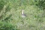 Buff-necked Ibis (Theristicus caudatus) [colombia_6194]