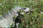 Green iguana eating grass [colombia_6246]