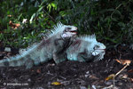 Male iguanas fighting