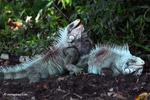 Male iguanas fighting