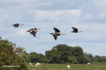 Orinoco geese in flight [colombia_6415]