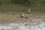 Orinoco geese [colombia_6420]