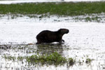 Capybara [colombia_6424]