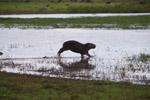 Running capybara [colombia_6426]