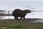 Running capybara [colombia_6429]