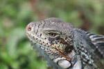 Green iguana headshot [colombia_6441]