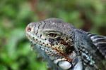 Green iguana headshot [colombia_6442]
