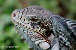 Green iguana headshot [colombia_6444]
