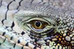Green iguana headshot [colombia_6447]