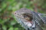 Green iguana headshot [colombia_6451]