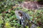 Green iguana headshot
