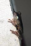 Hypsiboas pugnax Tree frog [colombia_6475]