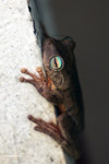 Hypsiboas crepitans Tree frog [colombia_6476]