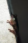 Hypsiboas crepitans Tree frog [colombia_6480]