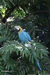 Blue-and-Yellow Macaw (Ara ararauna) [colombia_6509]