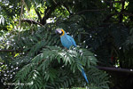 Blue and yellow macaw [colombia_6511]
