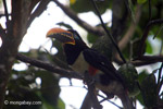 Chestnut-eared Aracari (Pteroglossus castanotis) [colombia_6512]
