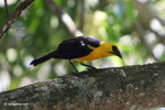 Bird [colombia_6523]