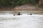 Capybara crossing a river