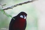 Crimson-backed Tanager (Ramphocelus dimidiatus) [colombia_6576]